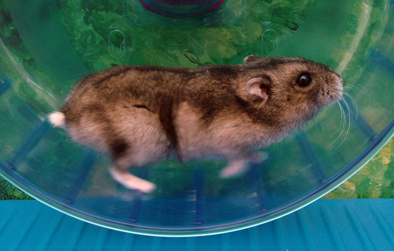 Hamster Working Continous Wheel